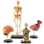 Набор анатомических моделей