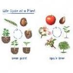 Жизненный цикл растений (магнитный)                                                                         новинка!!!