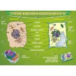 Строение животной и растительной клеток..