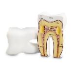 Модель зуба человека анатомическая                                                                          новинка!!!