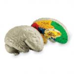 Модель мозга человека анатомическая                                                                          новинка!!!